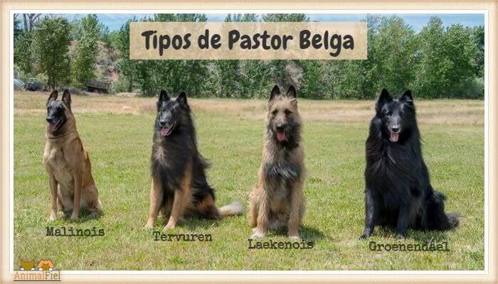4 pastores belgas sentados en fila sobre el pasto