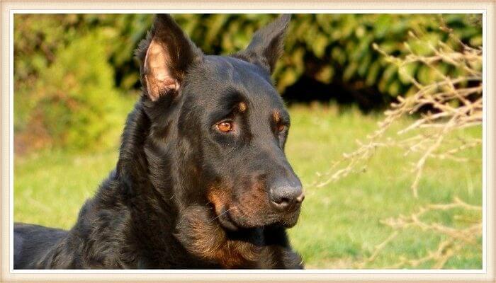 perro beauceron de expresión aguda y poderosa