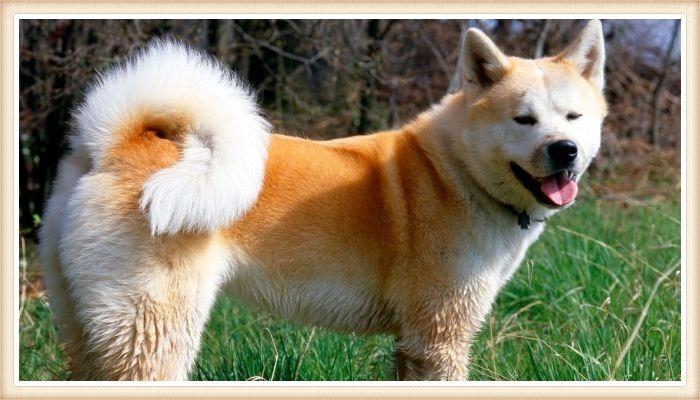 perro akita inu de abrigo blanco y dorado