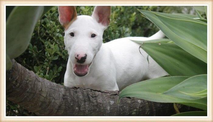 bull terrier blanco puro parado entre vegetación