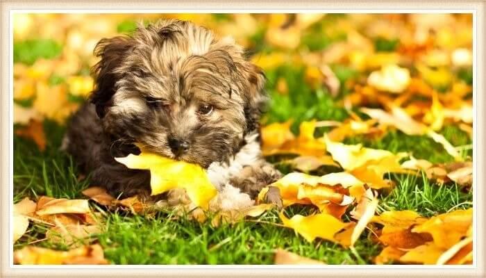 adorable perro bolonka echado sobre la hierba