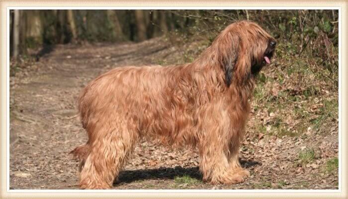 perro briard con abrigo dorado-marrón