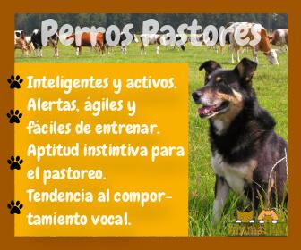 imagen resumen con características de los perros pastores