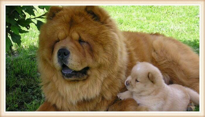 hermoso perro chow chow echado junto a un cachorro