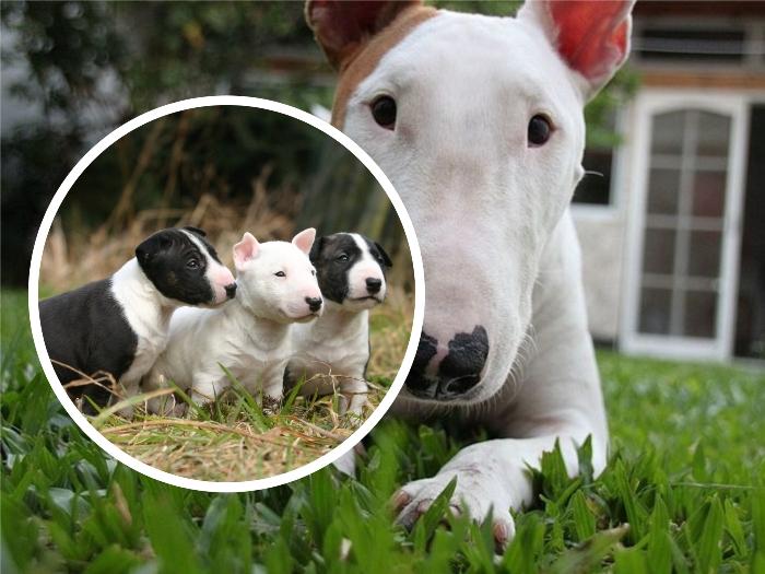 3 cachorros bull terrier sobre el pasto