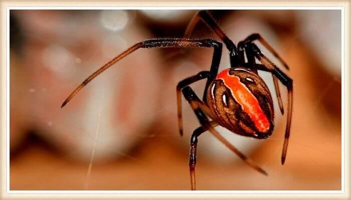 araña mostrando su franja naranja vibrante en la espalda