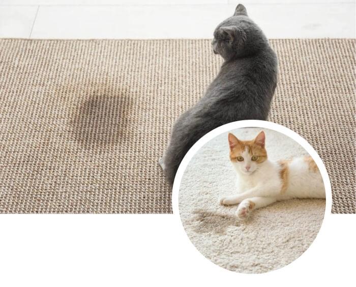 gato que ha dejado su orina sobre una alfombra