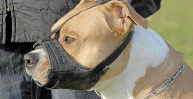 perro pitbull usando bozal