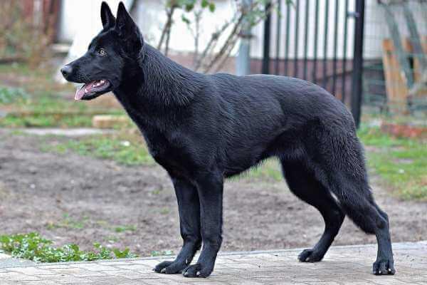 pastor alemán con abrigo de color negro intenso