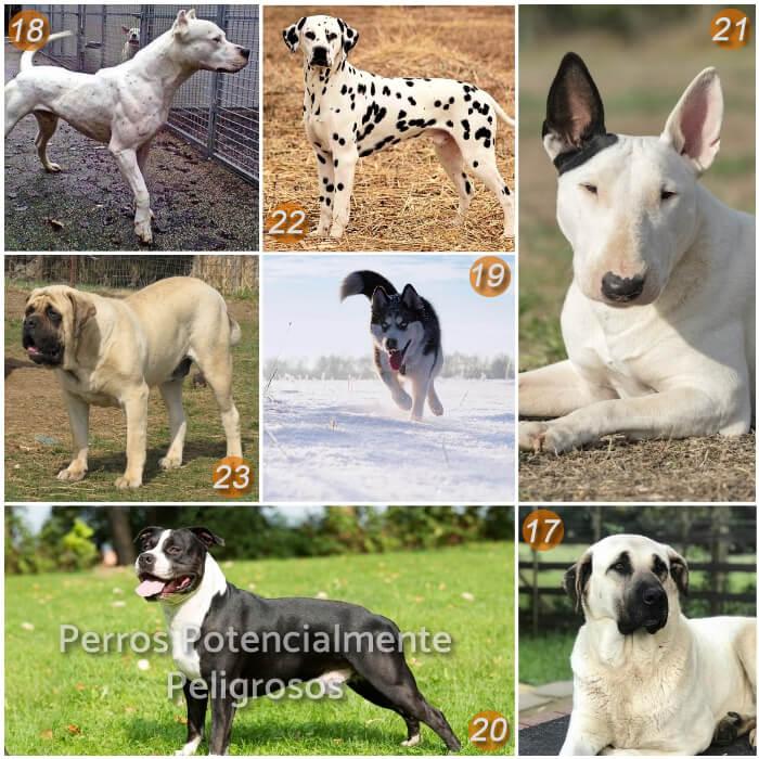 imagen collage con razas de perros peligrosos