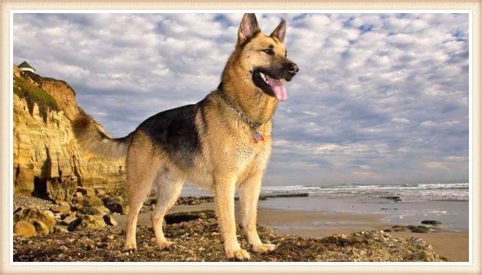 pastor alemán parado junto al mar