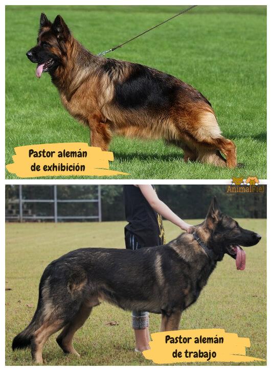 imagen comparativa entre pastores alemanes