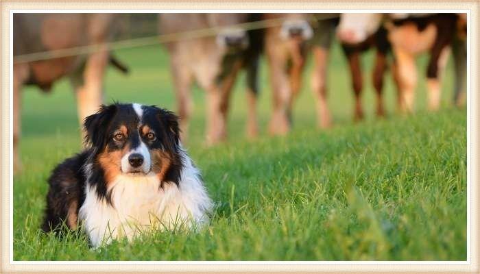 hermoso pastor australiano echado cerca del ganado