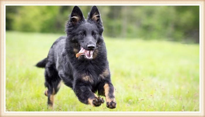 pastor bohemio corriendo libremente en el campo
