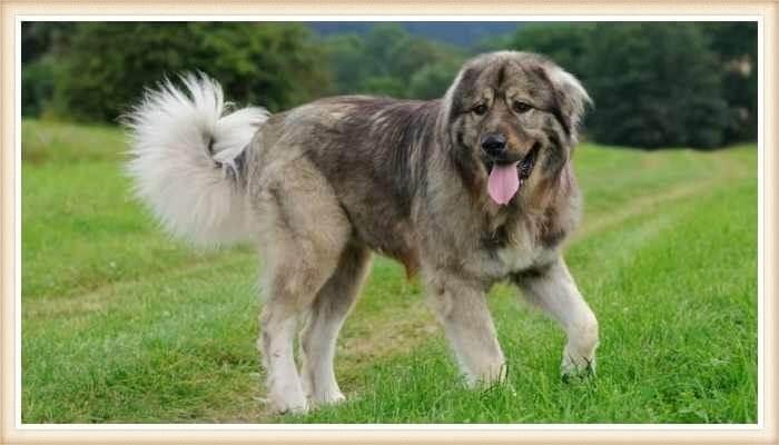perro pastor caucásico caminando sobre el pasto verde