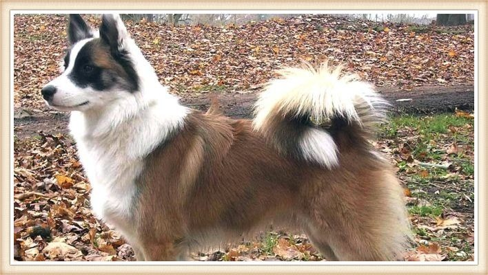 perro pastor islandés de hermoso pelaje tricolor