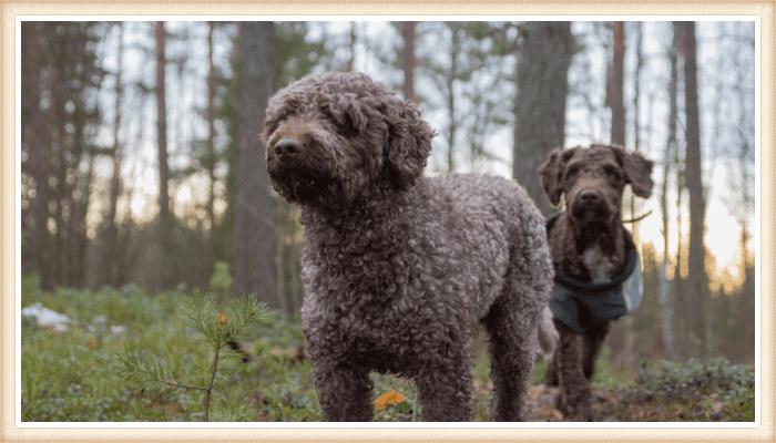 bonito perro de agua español paseando en el bosque