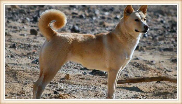 perro de Canaan vigilante sobre el terreno