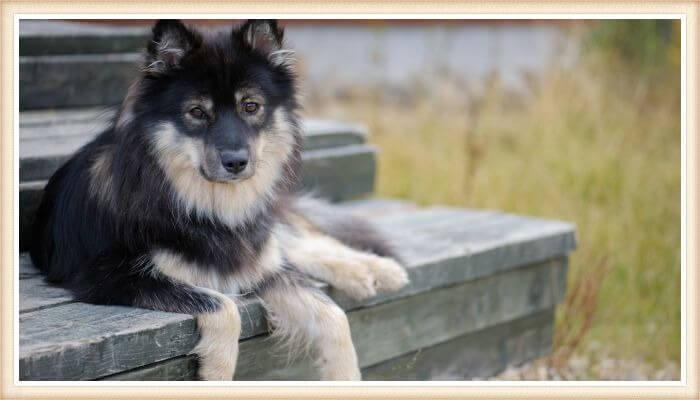 perro finlandés de Laponia descansando en una escalera