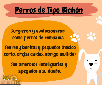 imagen diseño con rasgos de los perros bichones