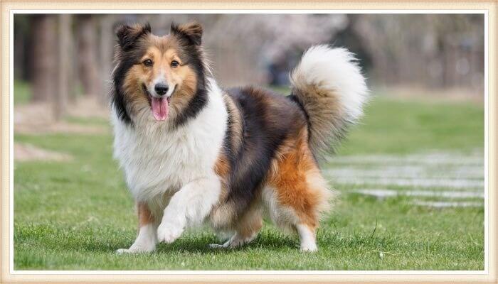 perro sheltie de expresión alegre parado sobre la hierba