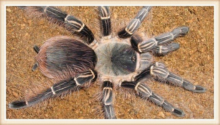 tarántula rosa y negra con las patas extendidas