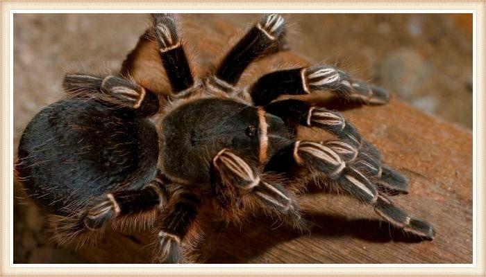 tarántula de color negro con patas rayadas