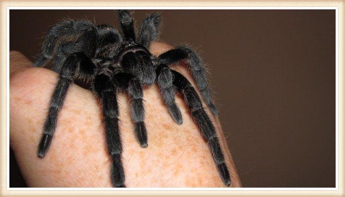 tarántula negra de patas largas posada sobre la mano de su dueño