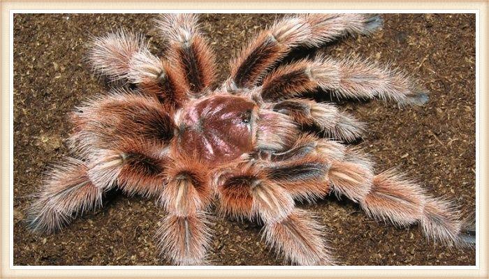 impresionante tarántula rosa de patas muy peludas