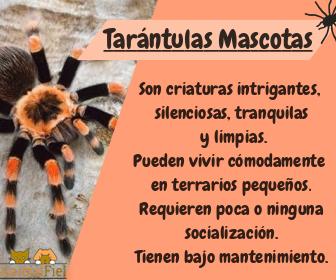 imagen diseño sobre las características de una tarántula doméstica