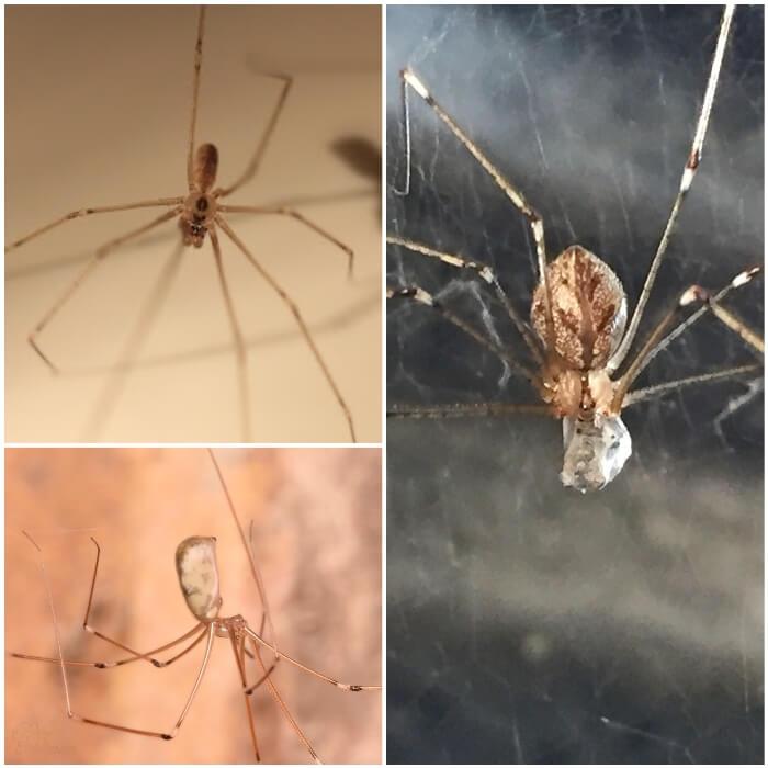 araña de patas largas posada en la pared