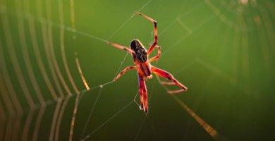 araña rojiza caminando por su tela