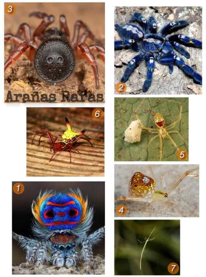 imagen collage de especies de arañas raras