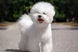 hermoso bichón blanco paseando
