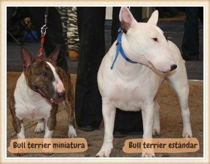 bull terrier estándar blanco junto a un bull terrier mini atigrado-blanco