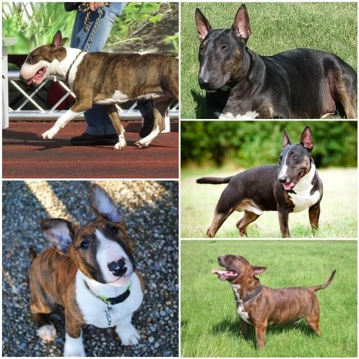 diferentes perros bull terrier con abrigo atigrado