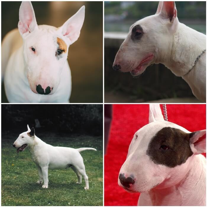 perros bull terrier blancos con manchas de color en la cabeza