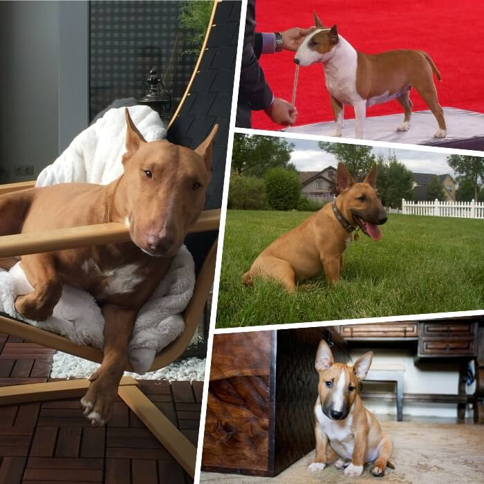 imagen collage con variaciones del bull terrier rojo