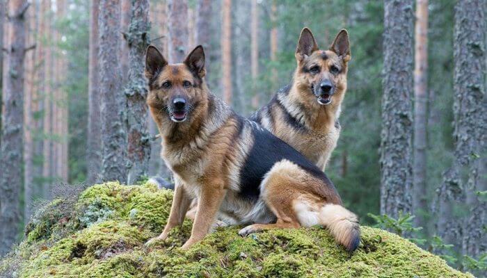 dos pastores alemanes sentados sobre una elevación en el bosque