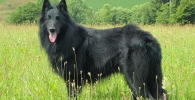 hermoso pastor belga de abrigo negro intenso