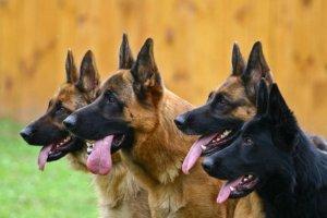 4 perros pastores parado en fila