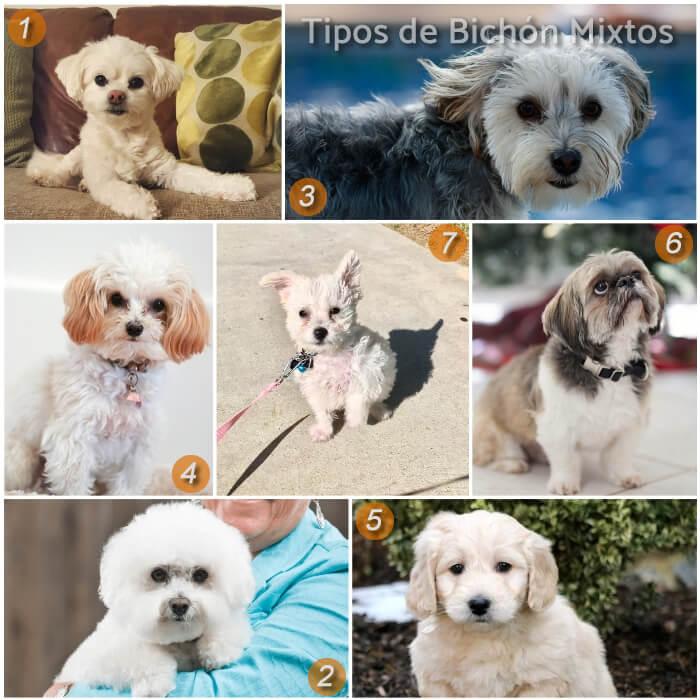 imagen collage con perros bichones mixtos