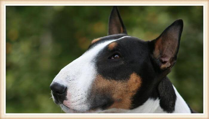 hermoso bull terrier tricolor con expresión pensativa