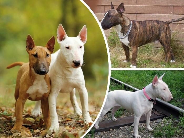 imagenc ollage con diferentes perros bull terrier