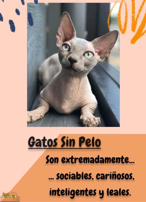 imagen diseño Razas de Gatos Sin Pelo