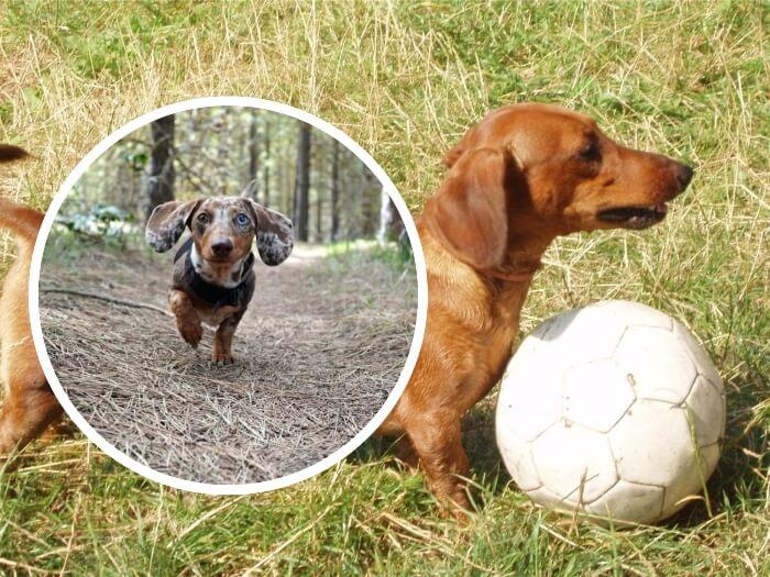 perro salchicha jugando con una pelota sobre la hierba