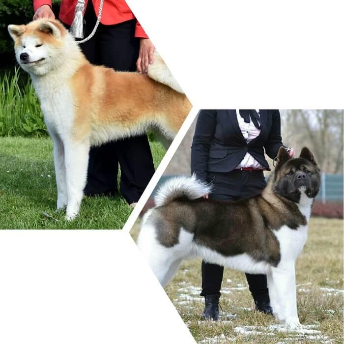 perros akitas en compañía de sus dueños