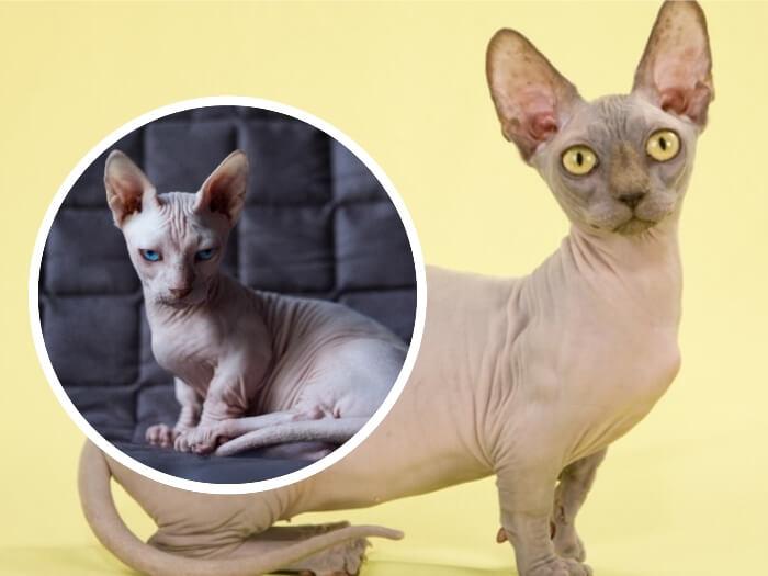 gato sin pelo bambino de ojos azules sentado en el sofá