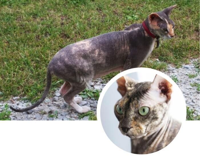 gato sin pelo donskoy paseando sobre la hierba