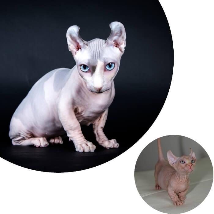 gato sin pelo dwelf con las orejas notablemente arqueadas